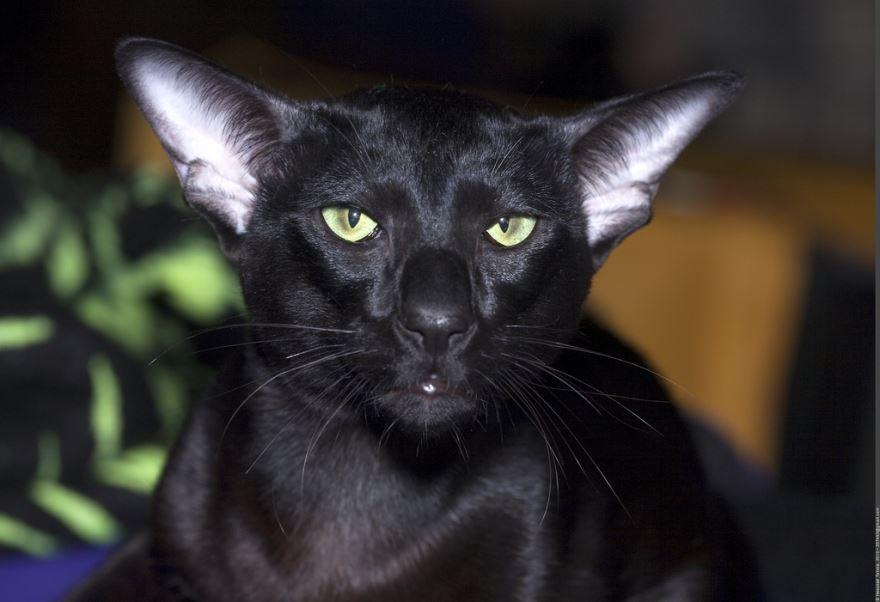 Картинки с породой ориентальных кошек различного окраса