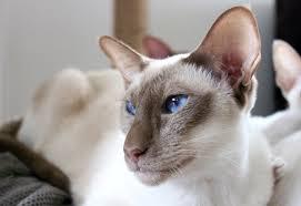 Фото ориентальной породы кошек и котов