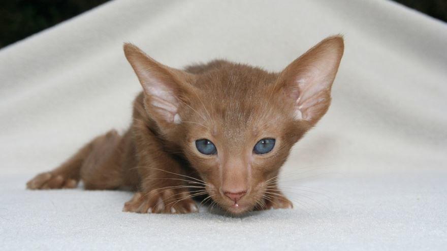 Фото породы ориентальных кошек с описанием и названием