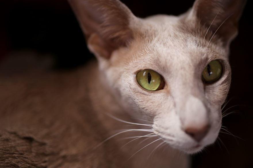 Фото ориентальной породы кошек с красивыми глазами