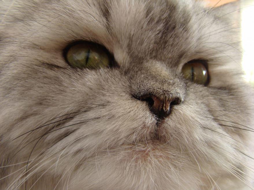 Фото персидских кошек с вредным характером