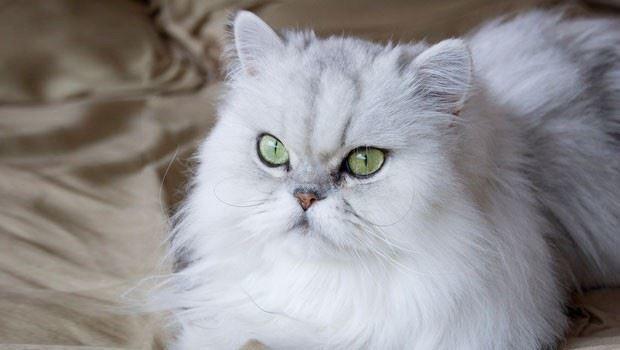 Фото белой персидской кошки