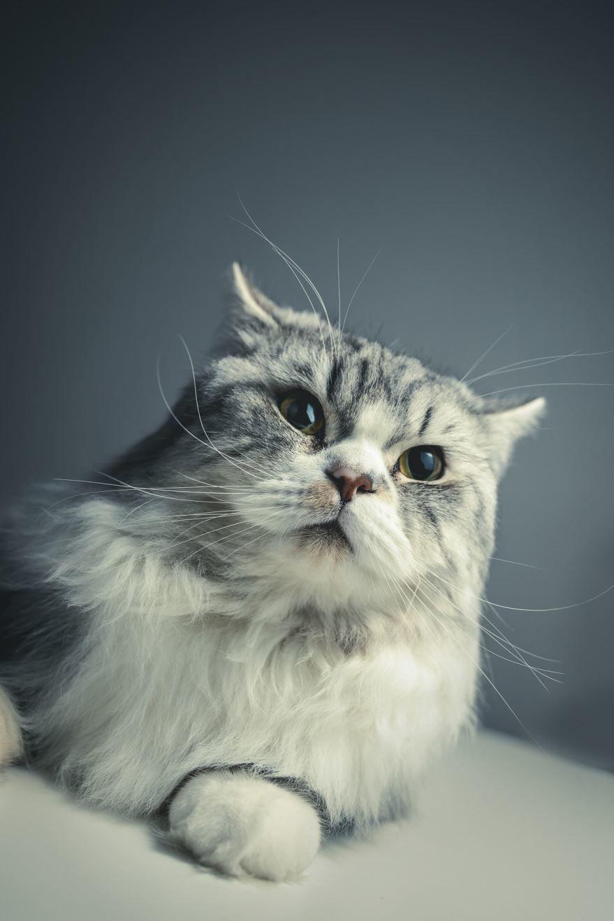 Фото персидских кошек с красивыми глазами