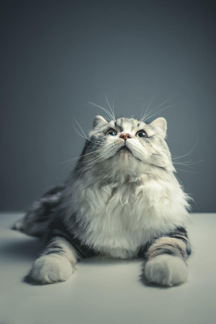 Красивые картинки персидских кошек