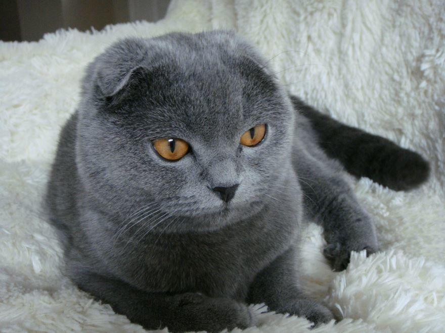 Фото британской вислоухой кошки бесплатно