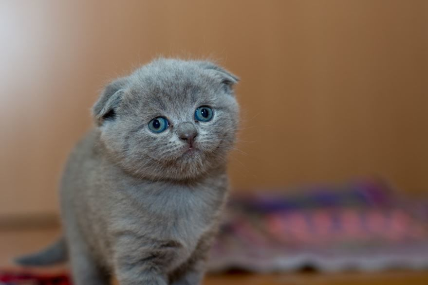 Фото красивого вислоухого котенка
