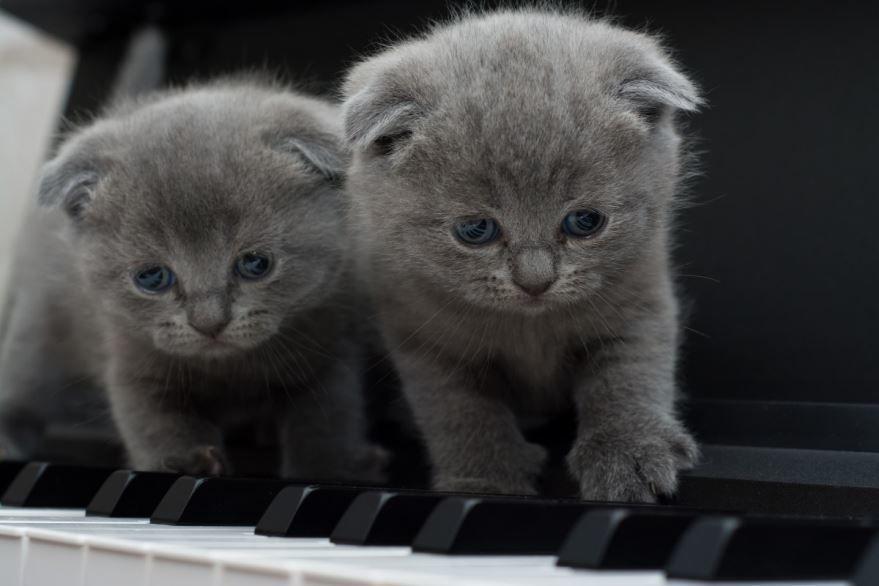 Лучшие фото и картинки вислоухих котиков