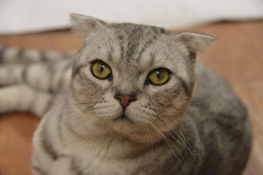 Картинки вислоухих котов и кошек
