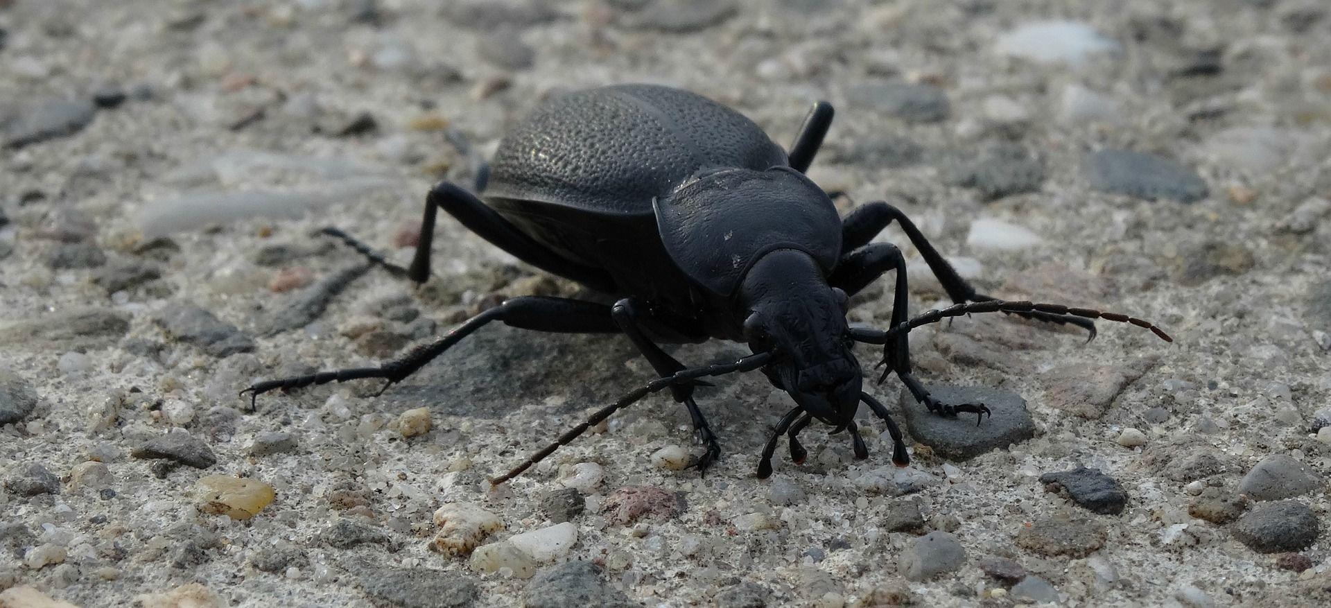 Смотреть лучшее фото черного жука на природе