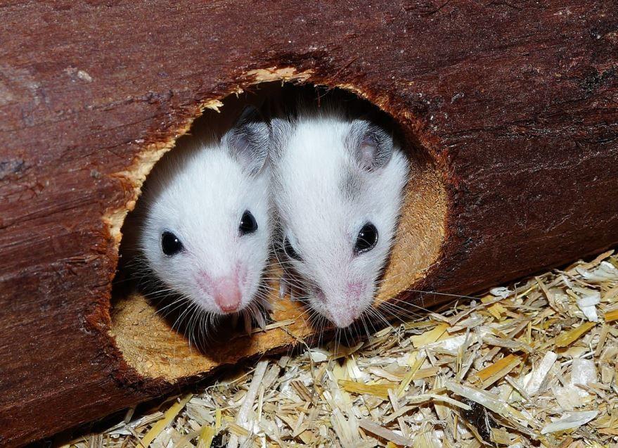 Скачать бесплатно красивое фото двух мышек землероек