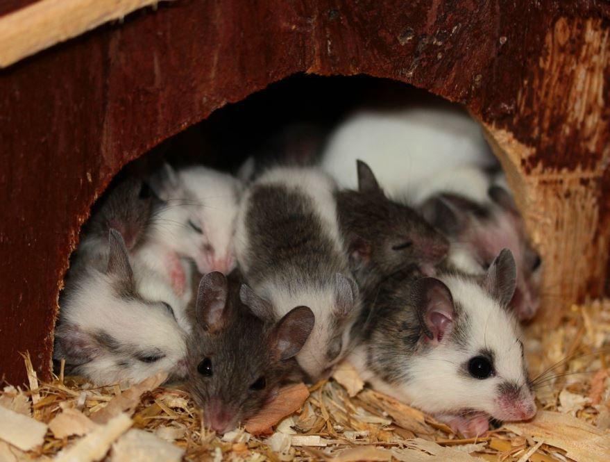 Смотреть лучшее фото мышки землеройки и ее детенышей