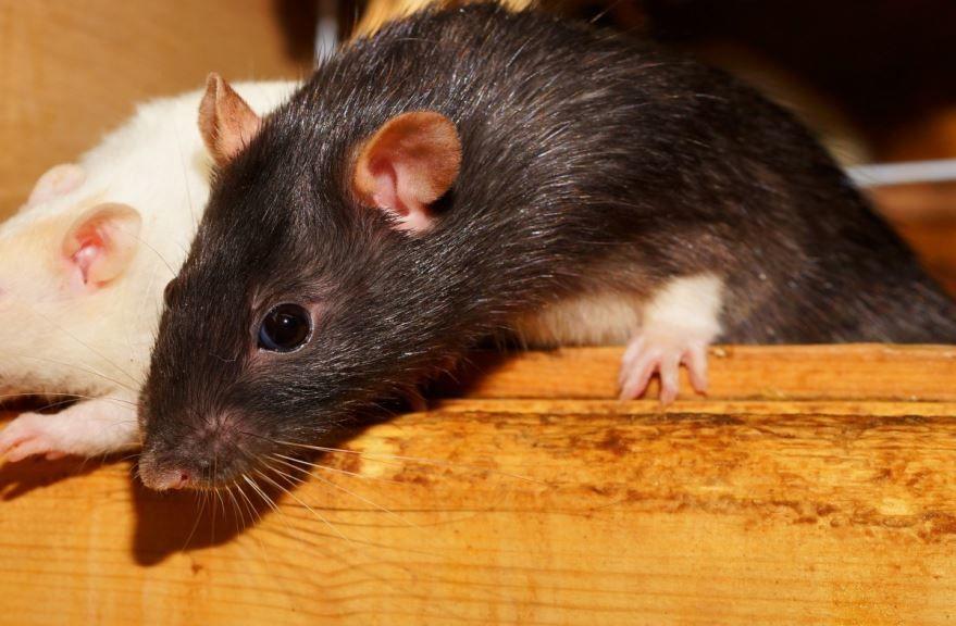 Смотреть бесплатно красивую картинку черной мышки землеройки