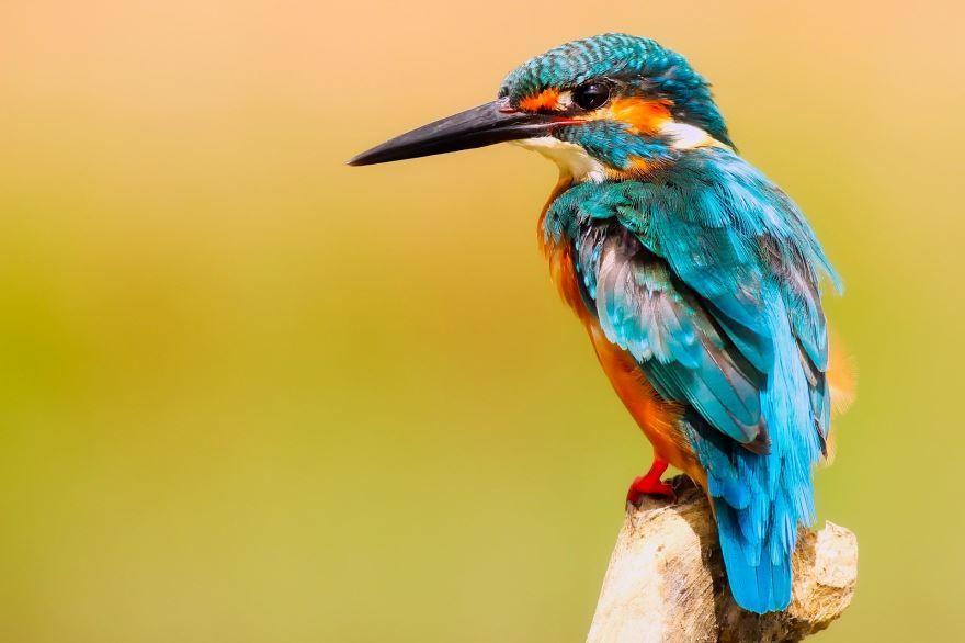 Скачать онлайн бесплатно лучшее фото птицы зимородок