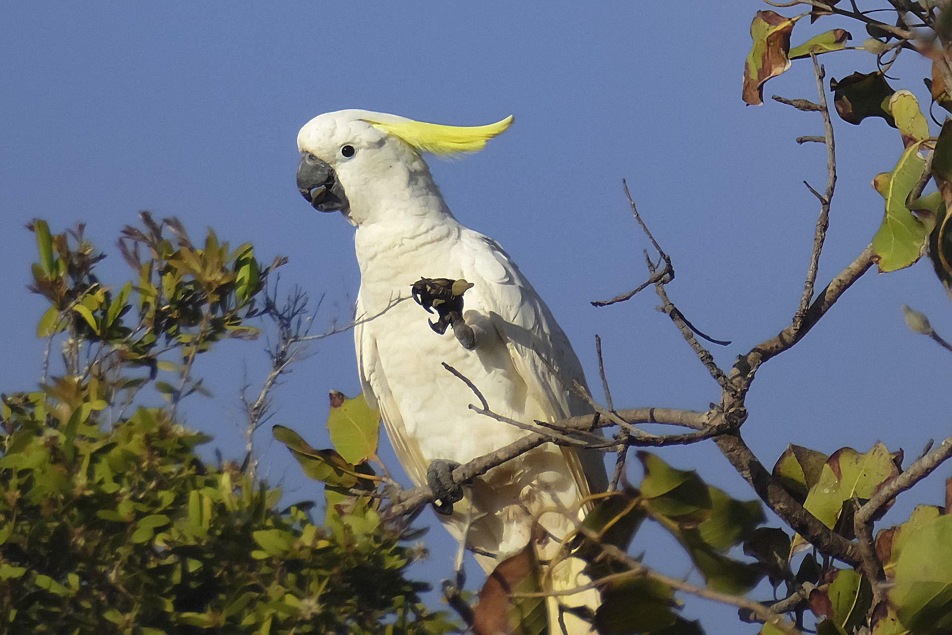 Скачать бесплатно лучшее фото Какаду крупным планом