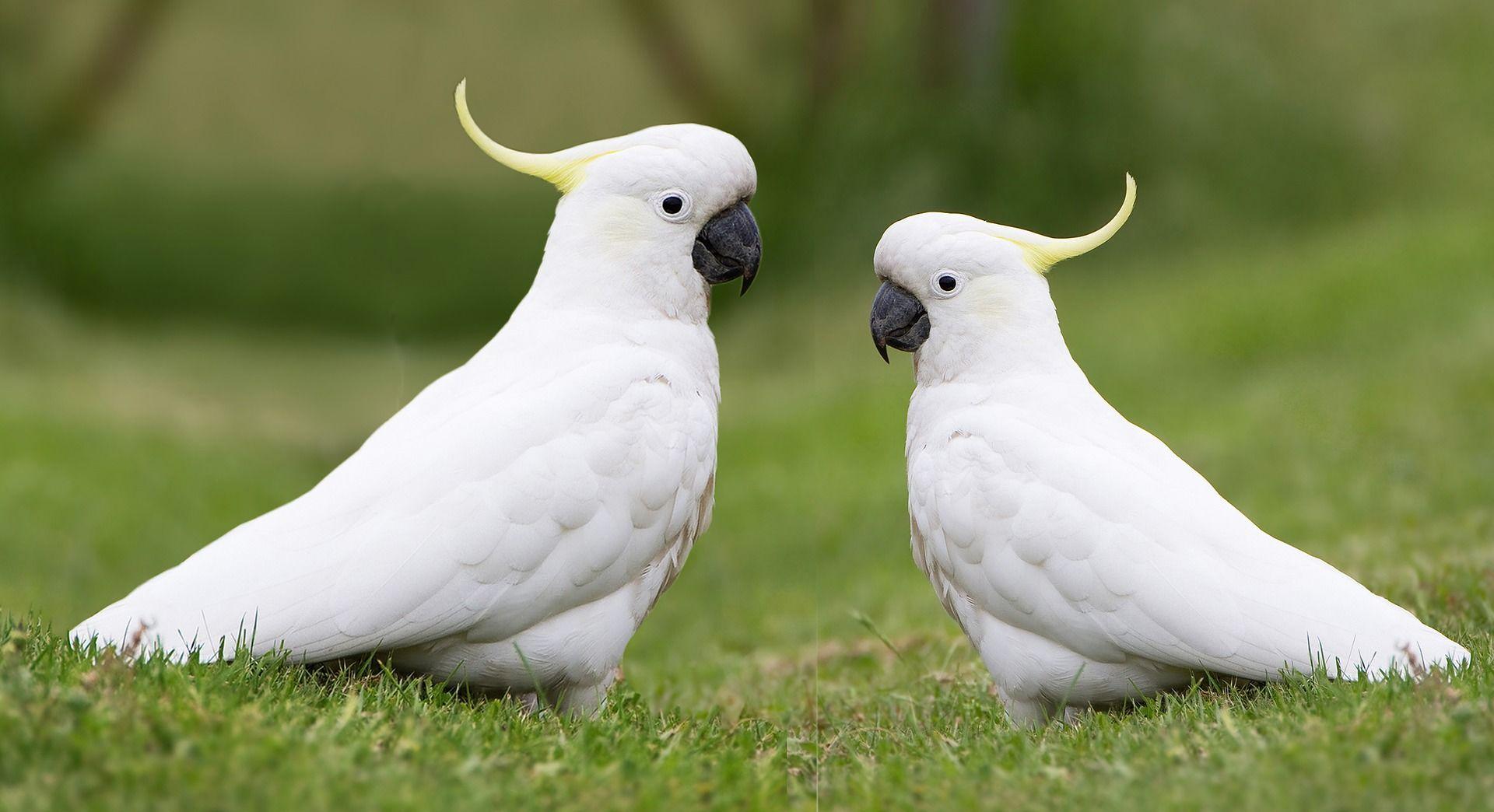 Скачать онлайн бесплатно лучшее фото двух Какаду в хорошем качестве