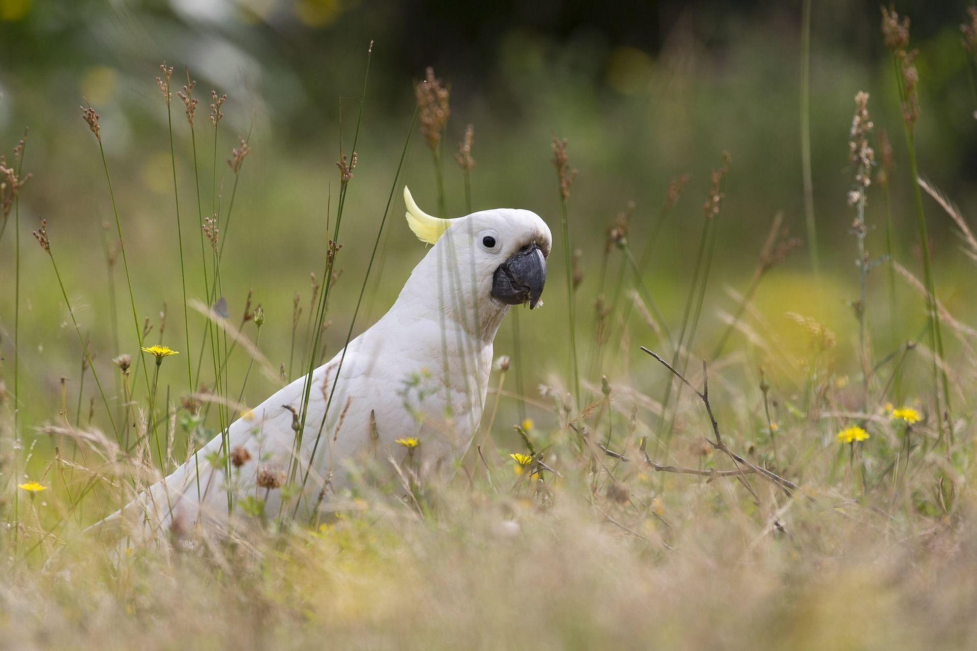 Смотреть лучшее фото Какаду на природе