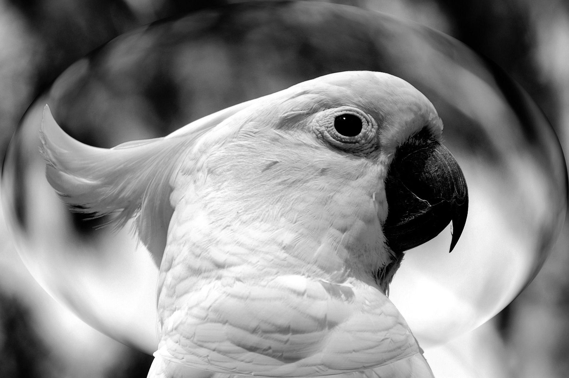 Скачать онлайн бесплатно интересное фото Какаду