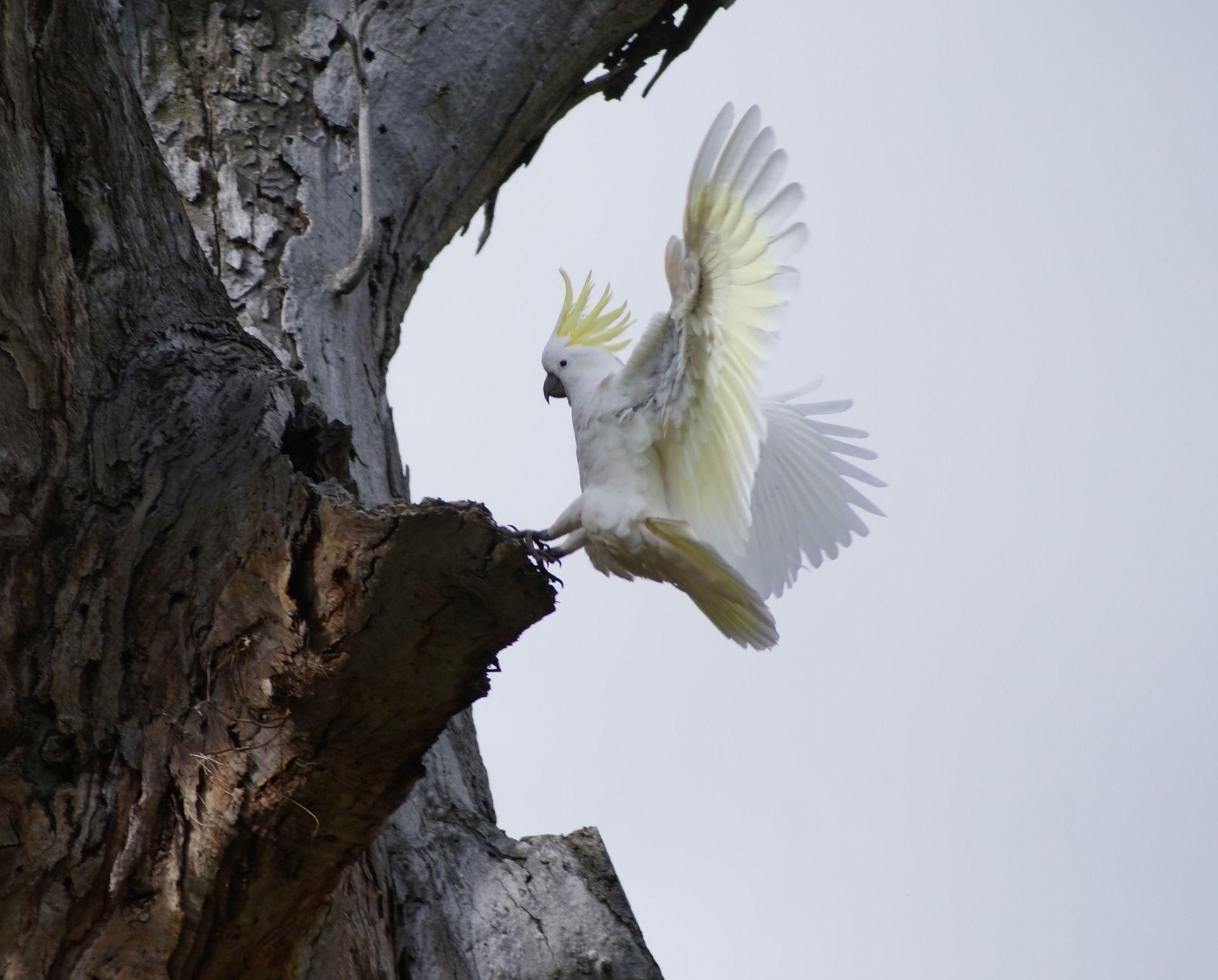 Смотреть лучшую картинку белого Какаду