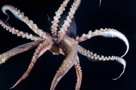 Смотреть лучшее фото кальмара крупным планом