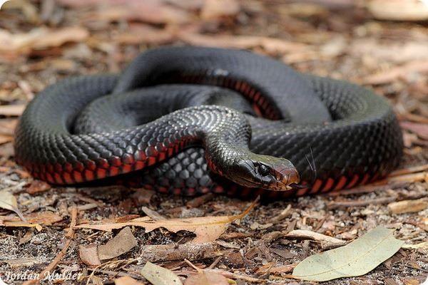 Смотреть фото черно красная змея бесплатно