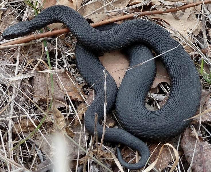 Скачать картинку черной змеи на природе
