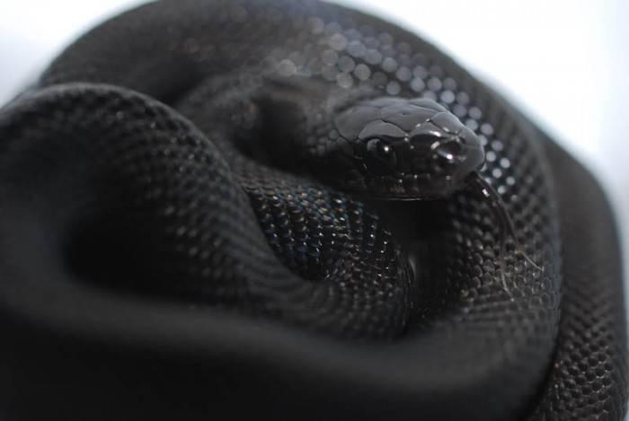 Фото большая черная змея