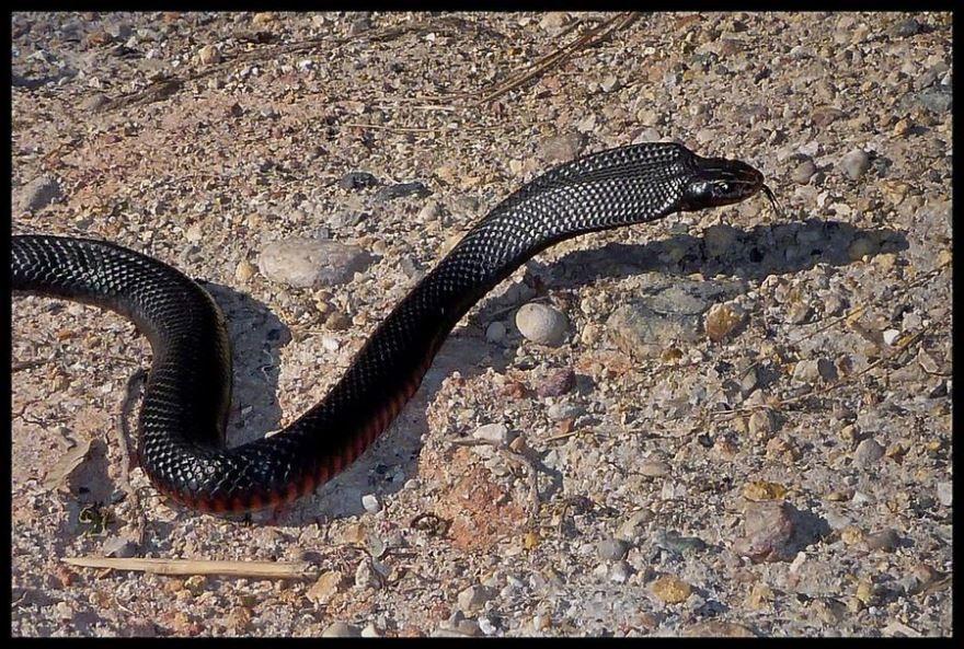 Скачать бесплатно фото черной змеи