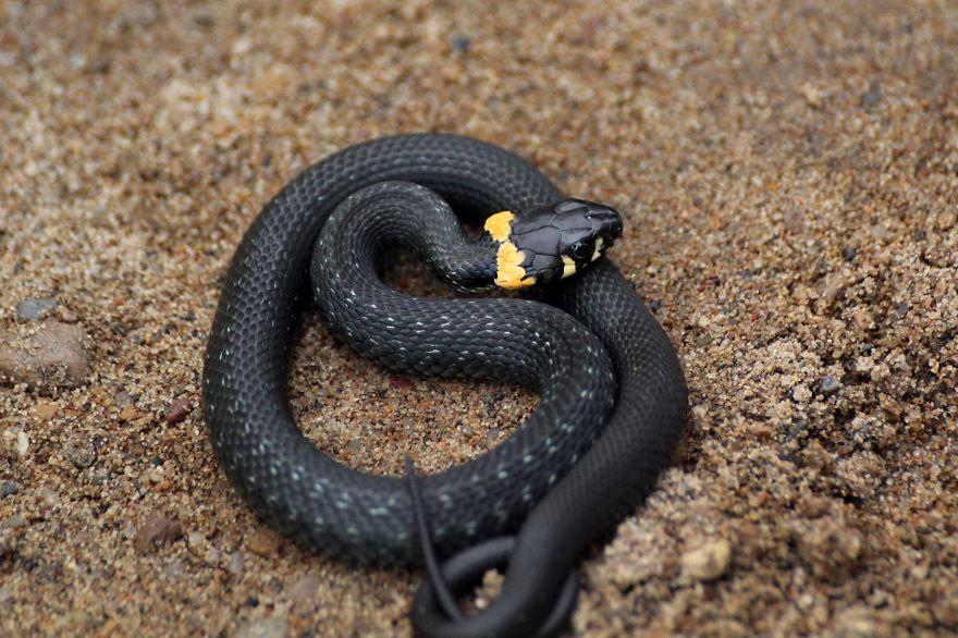 Смотреть интересное фото черно желтая змея