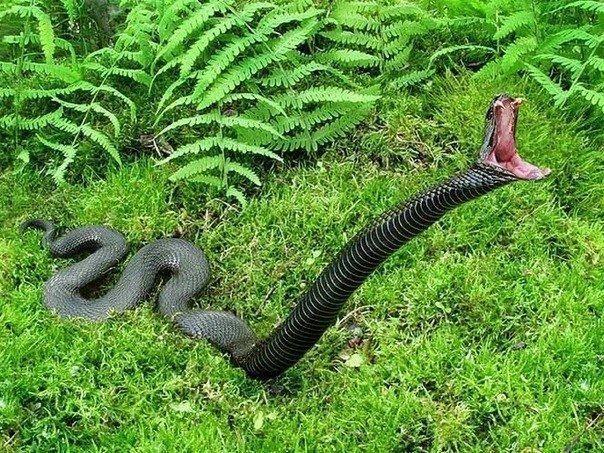 Опасная черная змея в траве