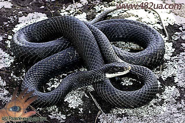 Смотреть фото черная мамба змея бесплатно