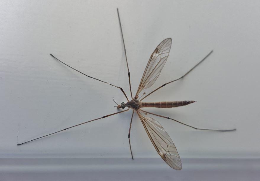 Фото насекомого москита, укус которого болезненный