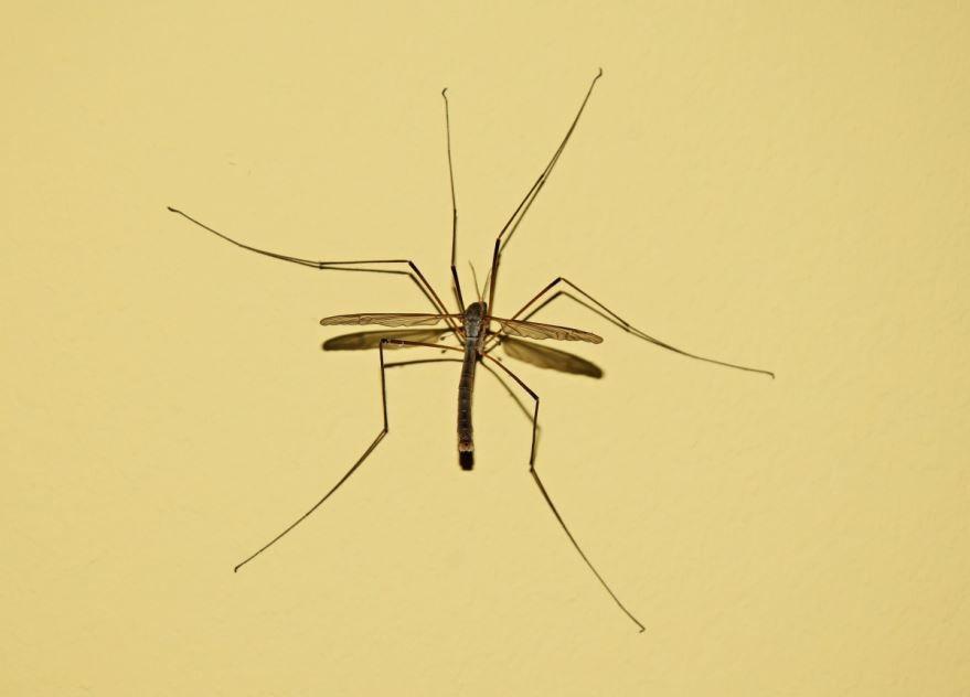 Красивые фото насекомого москита бесплатно