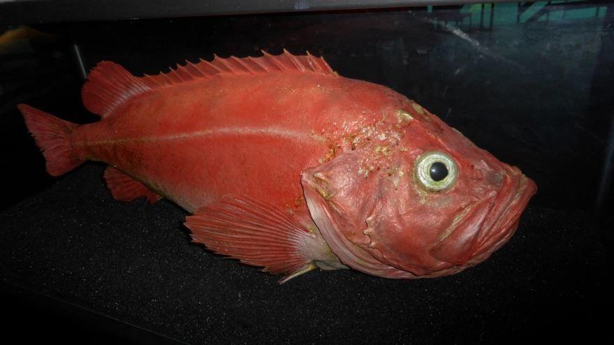 Фото вкусного морского окуня