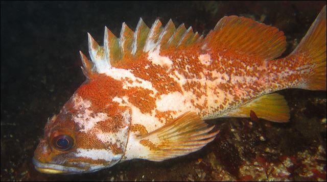 Фото рыбы – морского окуня