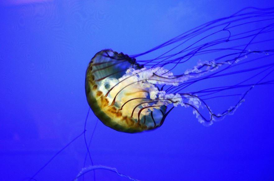 Фотография большой медузы