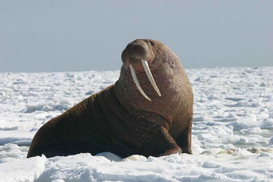 Смотреть фото моржа онлайн