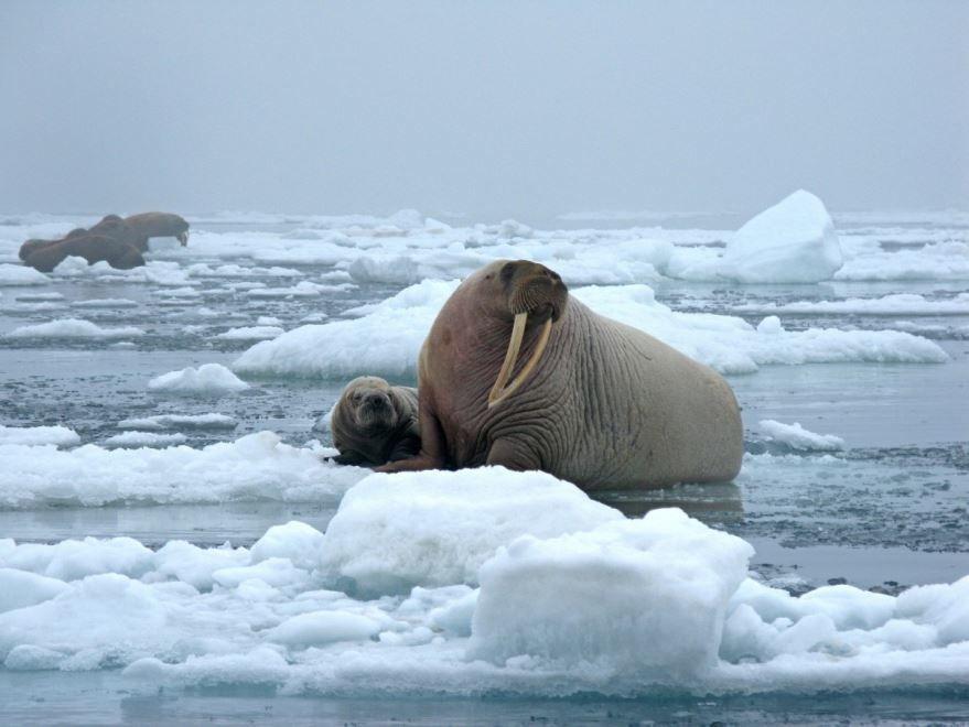 Лучшие фотографии и картинки моржа, скачать онлайн