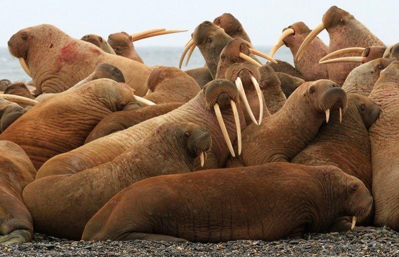 Фото моржа с бивнями