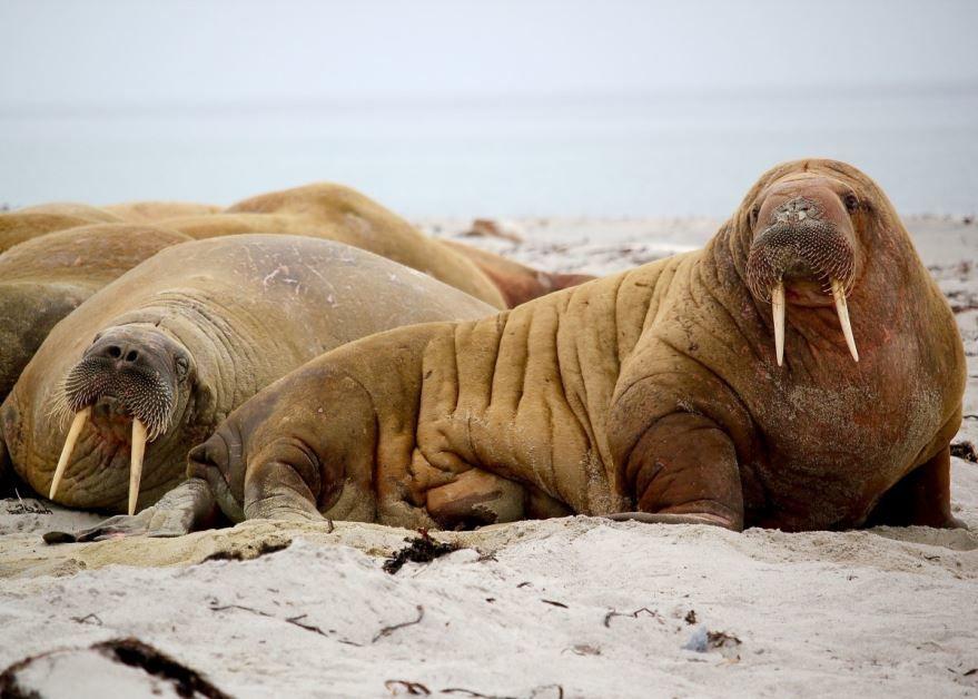 Клыки моржа, красивое фото
