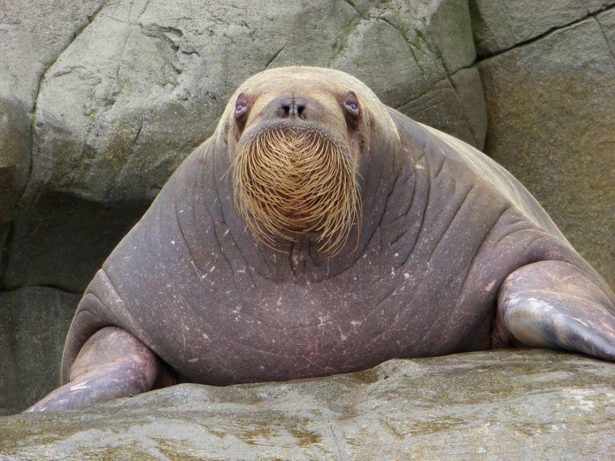 Смотреть картинки моржа бесплатно