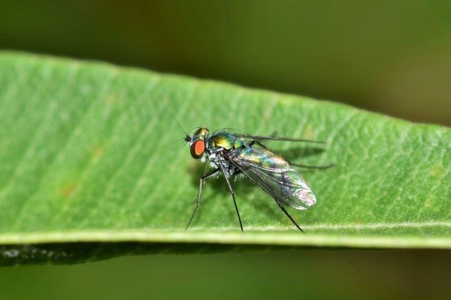 Фотография мухи дрозофилы