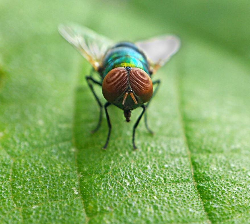 Лучшие фото больших мух дрозофил