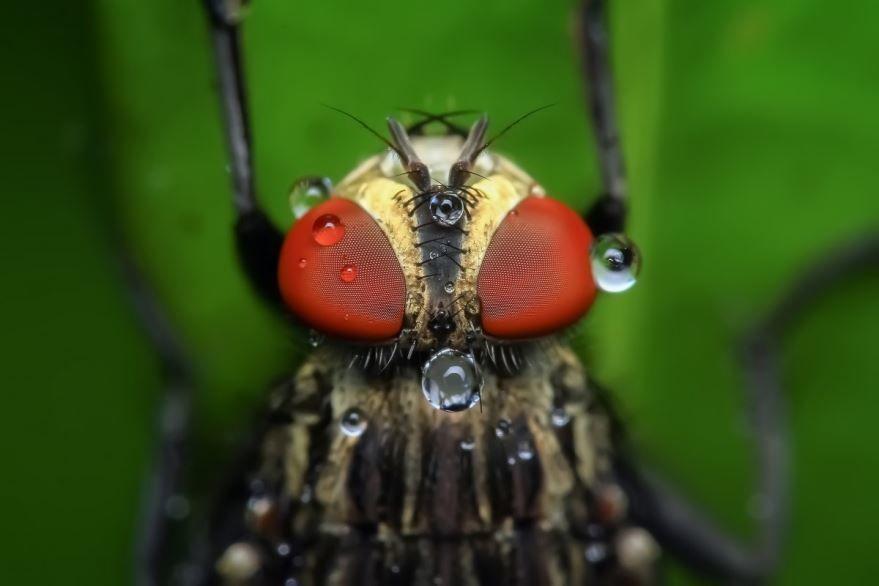 Морковная муха, скачать фото бесплатно