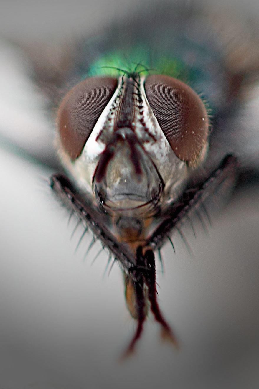 Красивое фото известной мухи в просторечье навозной