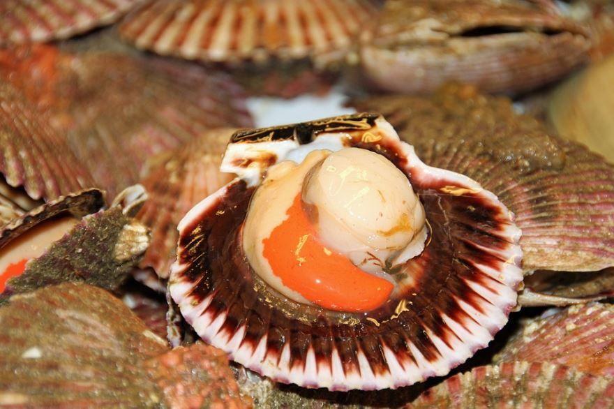 Фото морского гребешка онлайн