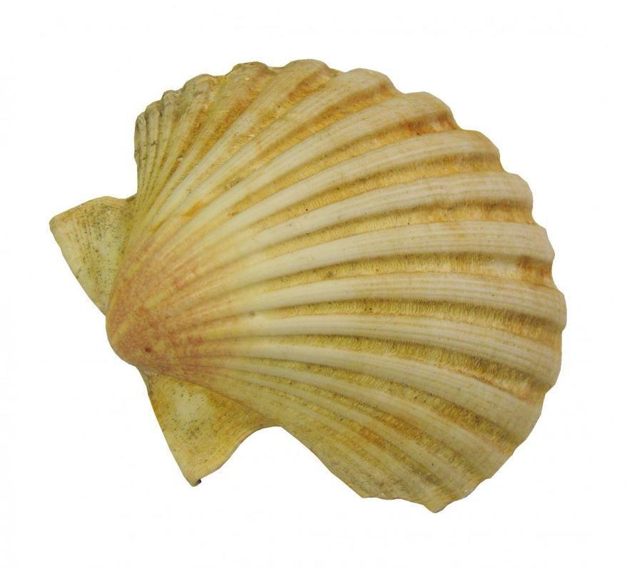 Раковина морского гребешка