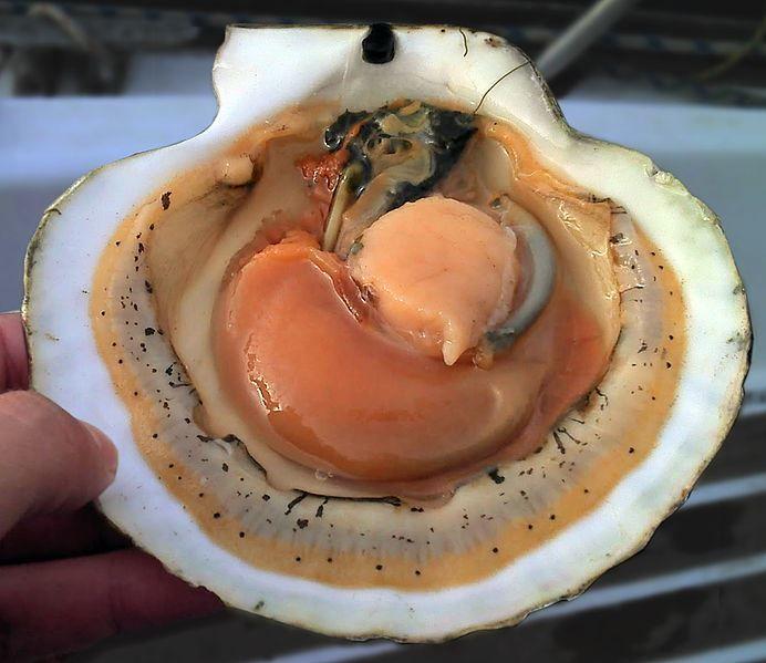 Онлайн просмотр фото морского гребешка бесплатно