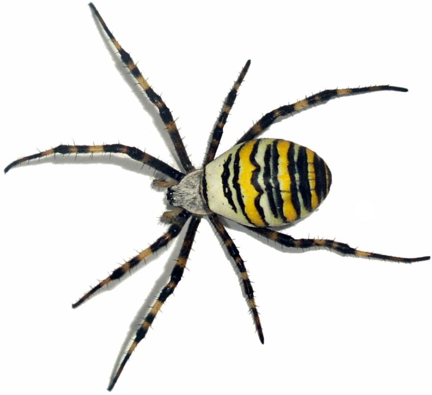 Фотография паука каракурта