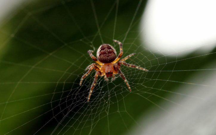 Фото паука крестовика из Башкирии
