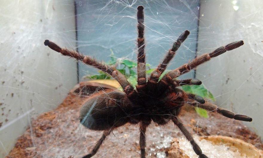 Фото ядовитого паука тарантула